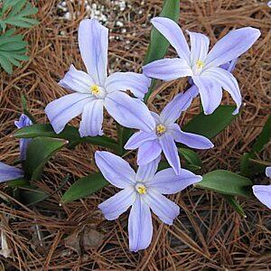 Allium to Convallaria