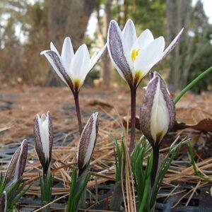 Crocus (Spring-Blooming)